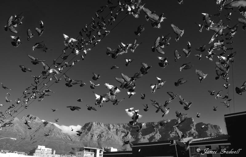 Bokaap Pigeon Flock