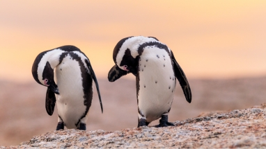 African Penguins captured on Full Day Cape Point Photo Tour
