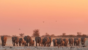 Etosha large herd of elephant coming down to Okaukuejo at sunset Namibia photo Tour