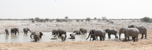 Big Elephant herd at Okaukeujo Camp Waterhole, Namibia Photo Tour
