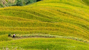 Longsheng Rice Terraces Autumn. Photo Tour China