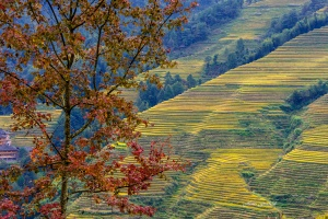 Longji Rice Terraces with red Autumn Tree . Photo Tour China