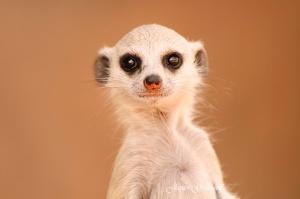 Meercat Baby Portrait,  Namibia photo Tour