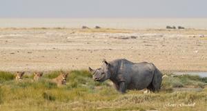 Lion and Black Rhino, Etosha,  Namibia photo Tour