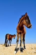 Wild Horses Of Aus. Namibia photo tours