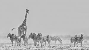 Zebra and Giraffe in the dust Etosha Namibia Photo Tour