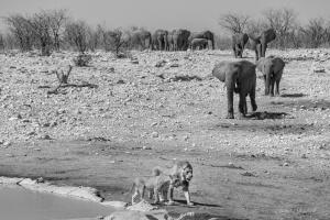 Lion and elephant Etosha. Namibia Photo Tours