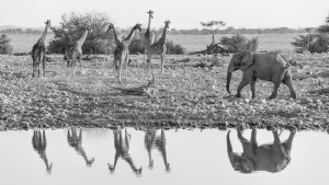 Lion and elephant reflections  Okaukeujo Etosha Namibia photo Tour