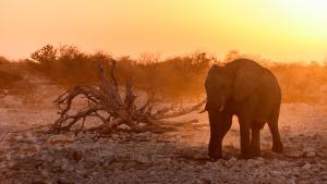 Beautiful Elephant Sunset Light Okaukeujo Etosha Namibia photo Tour