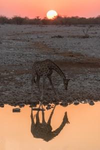 Sunset Giraffe Reflection Okaukeujo Etosha Namibia Photo Tour